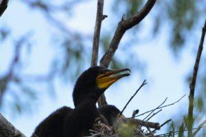 juvenil_cormoran_mare_-_phalacrocorax_carbo